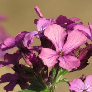 Photographie n°2470432 du taxon Lunaria annua f. annua