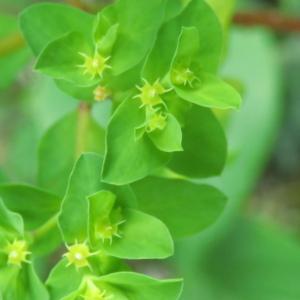 Photographie n°2470461 du taxon Euphorbia peplus L. [1753]