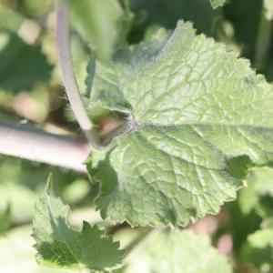 Photographie n°2470463 du taxon Lunaria annua L. [1753]