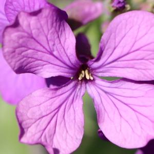 Photographie n°2470466 du taxon Lunaria annua L. [1753]