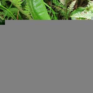 Photographie n°2470704 du taxon Asplenium scolopendrium L. [1753]