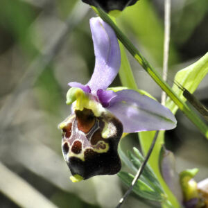 Photographie n°2470763 du taxon Ophrys fuciflora subsp. fuciflora