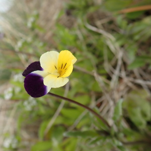 Photographie n°2471091 du taxon Viola arvensis Murray [1770]