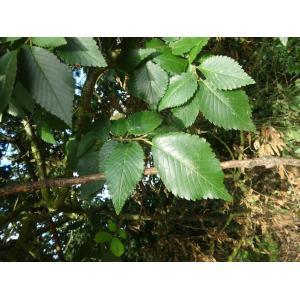 Ulmus minor Mill. subsp. minor (Orme à feuilles luisantes)
