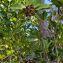 Erithalis fruticosa L. [1759] [nn4079] par Guy Van Laere le 19/03/2021 - Trois-Rivières