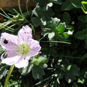 Photographie n°2471389 du taxon Geranium cinereum Cav. [1787]