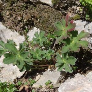 Photographie n°2471431 du taxon Geranium cinereum Cav. [1787]
