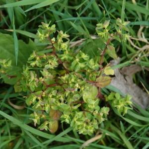 Photographie n°2471813 du taxon Euphorbia peplus L. [1753]
