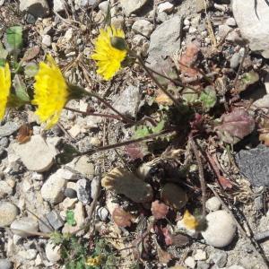 Photographie n°2471893 du taxon Crepis sancta subsp. nemausensis (Vill.) Babc.