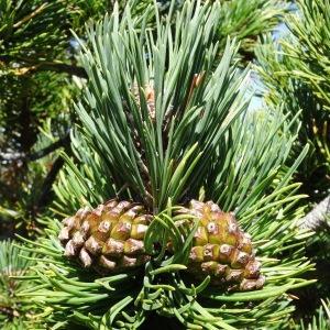 - Pinus mugo subsp. uncinata (Ramond ex DC.) Domin [1936]