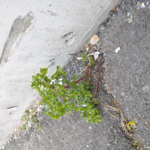 Photographie n°2472801 du taxon Euphorbia peplus L. [1753]