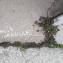 Photographie n°2473106 du taxon Euphorbia peplus L. [1753]
