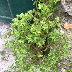 Photographie n°2473138 du taxon Euphorbia peplus L. [1753]