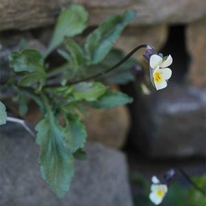 Photographie n°2473275 du taxon Viola arvensis Murray