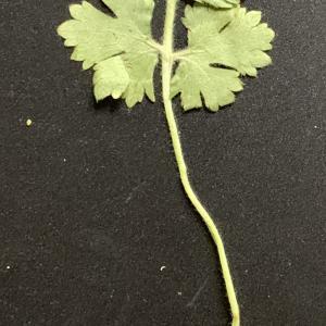 - Ranunculus bulbosus L. [1753]