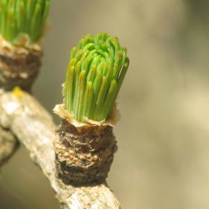 Photographie n°2473600 du taxon Larix decidua subsp. decidua