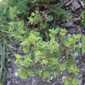 Photographie n°2473661 du taxon Euphorbia peplus L.