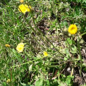 Photographie n°2473666 du taxon Crepis sancta subsp. nemausensis (Vill.) Babc.