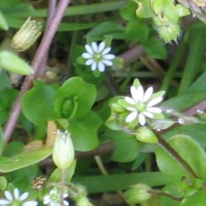 Photographie n°2473694 du taxon Stellaria L. [1753]