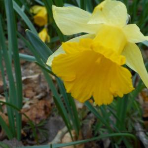 Photographie n°2473962 du taxon Narcissus pseudonarcissus L. [1753]