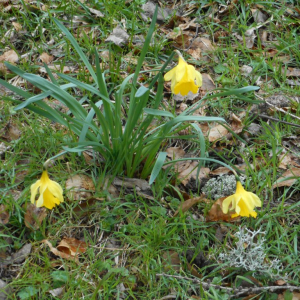 Photographie n°2473964 du taxon Narcissus pseudonarcissus L. [1753]