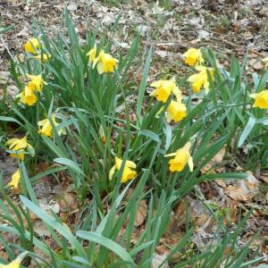 Photographie n°2473965 du taxon Narcissus pseudonarcissus L. [1753]