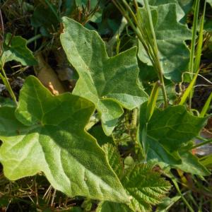 Photographie n°2474532 du taxon Bryonia dioica Jacq. [1774]