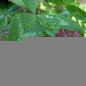 Photographie n°2474533 du taxon Trifolium pratense L. [1753]