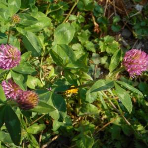 Photographie n°2474534 du taxon Trifolium pratense L. [1753]