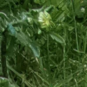Photographie n°2474622 du taxon Leucanthemum vulgare Lam. [1779]