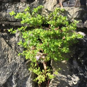 Photographie n°2474726 du taxon Euphorbia peplus L.