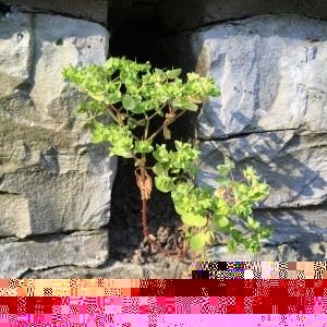 Photographie n°2474727 du taxon Euphorbia peplus L.