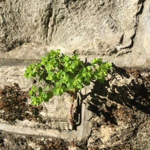 Photographie n°2474729 du taxon Euphorbia peplus L.