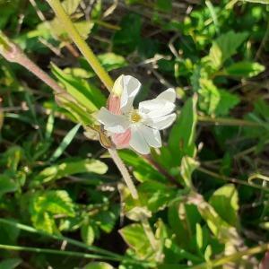 Photographie n°2474887 du taxon Silene latifolia subsp. alba (Mill.) Greuter & Burdet [1982]