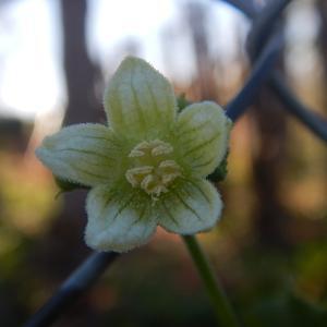 Photographie n°2474920 du taxon Bryonia dioica Jacq. [1774]