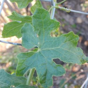 Photographie n°2474925 du taxon Bryonia dioica Jacq. [1774]