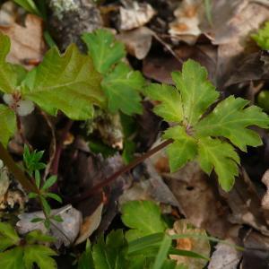 Photographie n°2475207 du taxon Sanicula europaea L. [1753]