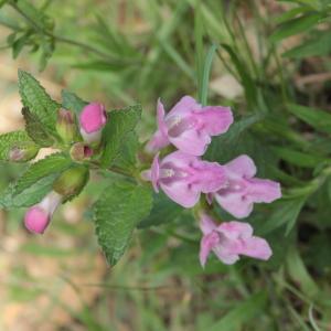 Photographie n°2475284 du taxon Melittis melissophyllum L. [1753]