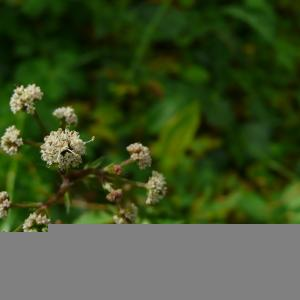 Photographie n°2475339 du taxon Sanicula europaea L. [1753]