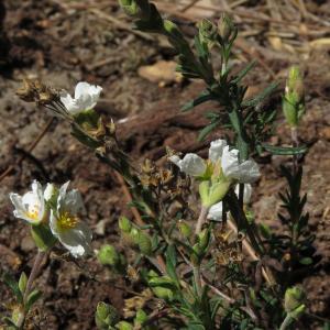 Photographie n°2475630 du taxon Halimium umbellatum (L.) Spach [1836]