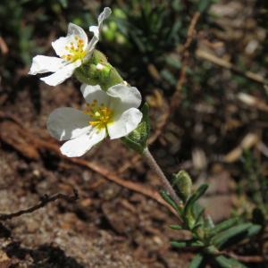 Photographie n°2475631 du taxon Halimium umbellatum (L.) Spach [1836]