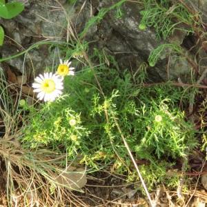 Photographie n°2475868 du taxon Leucanthemum monspeliense (L.) H.J.Coste [1903]