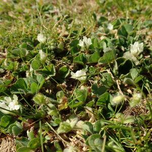 Photographie n°2475963 du taxon Trifolium subterraneum L. [1753]