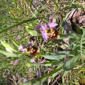 Photographie n°2475976 du taxon Ophrys fuciflora (F.W.Schmidt) Moench [1802]