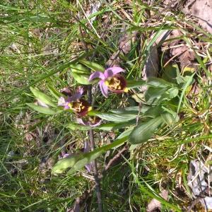 Photographie n°2475977 du taxon Ophrys fuciflora (F.W.Schmidt) Moench [1802]