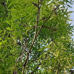 - Fraxinus angustifolia subsp. angustifolia