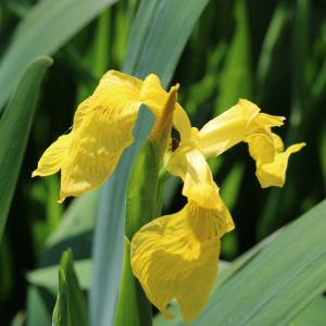 Photographie n°2476146 du taxon Iris pseudacorus L.