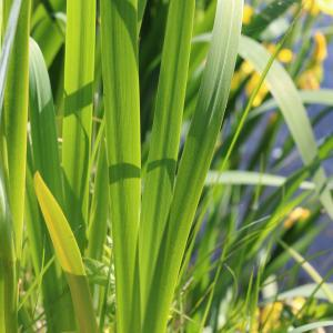 Photographie n°2476147 du taxon Iris pseudacorus L.
