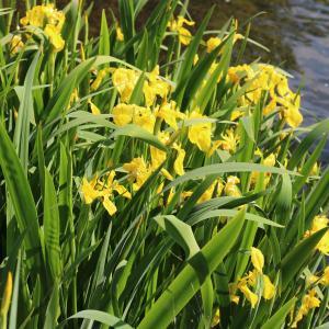 Photographie n°2476148 du taxon Iris pseudacorus L.