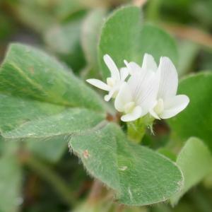 Photographie n°2477716 du taxon Trifolium subterraneum L. [1753]